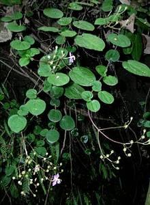 充分生長的圓葉布勒德藤,會形成懸垂狀。