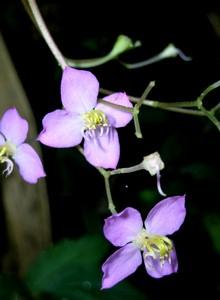 圓葉布勒德藤花的構造精緻而巧妙。