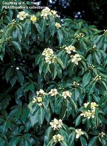 木荷葉邊緣有鋸齒,11月前後開花,花大,心黃