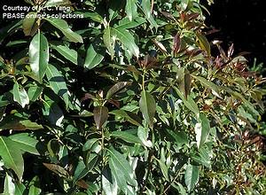 木荷葉子的變異不小,新芽呈紅褐色