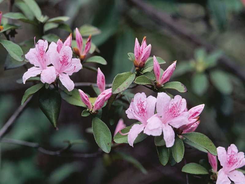 an analysis of the topic of the plant rhododendron A plant genus of the family ericaceae  rhododendron – science topic   while analyzing the carbon sequestration rate of forests of uttarakhand, central.