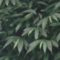 冷清草是潮濕地的指標植物。