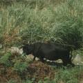 魚路附近偶爾可以看到黑色的神戶牛。