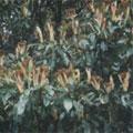 古道旁秋天開花的台灣曲蕊馬蘭