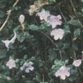 春天開花的藍嵌馬蘭