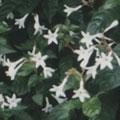 春天開花的日本蛇根草